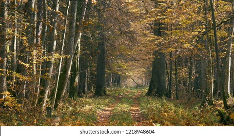 Narrow ground road with trees along in sunny autumnal day, Bialowieza Forest, Poland, Europe