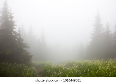 A narrow path along the edge of the blooming lawn is among the fir trees in the fog.