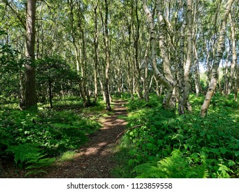 A narrow path leads through tall Silver Birch trees with ferns and brambles either side of the path. Budby South Forest, on the fringes of Sherwood Forest, in Nottinghamshire.