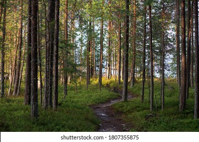 Narrow path throw pine forest. Evergreen forestry landscape. Ecological route throw forest.