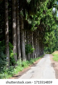 A narrow road along the densely planted avenue of spruces
