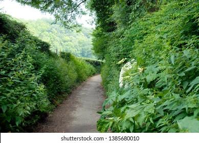 narrow road between hedges in bemelen, limburg, netherlands