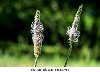 Narrowleaf plantain (Plantago lanceolata) flowers with insect