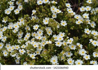 Narrow-leaved cistus white flowers - Latin name - Cistus monspeliensis