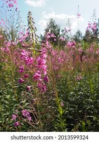 Narrow-leaved ivan tea, Ivan-tea Kiprey narrow-leaved, or Koporsky tea Chamaenerion angustifolium, or Epilobium angustifolium. Perennial herbaceous plant of the family Cyprus Onagraceae and Epilobium