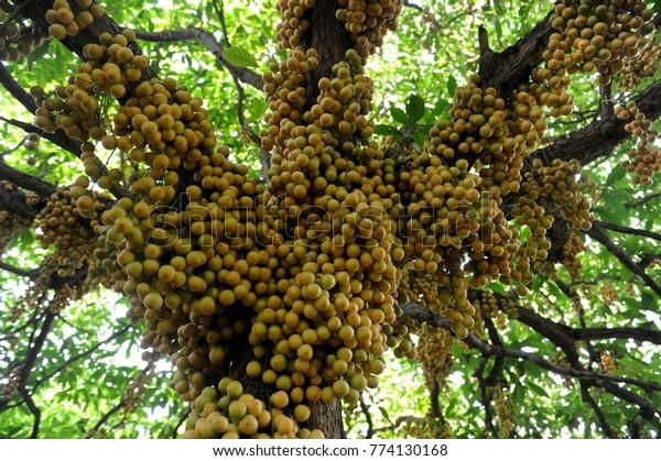 Narsingdi Bangladeshjune 10 2016 Burmese Grape Stock Photo (Edit Now