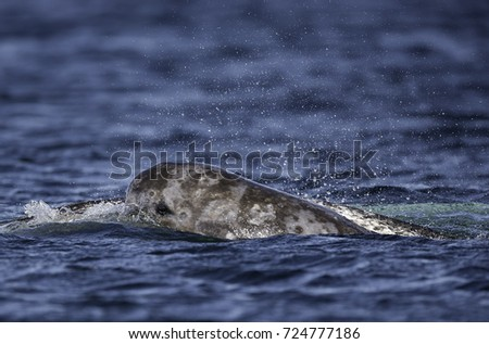 Narwhal breaking the surface to breath, Lancaster Sound, northern Baffin Island, Canada.