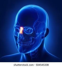 NAsal bone - os nasale 3D illustration