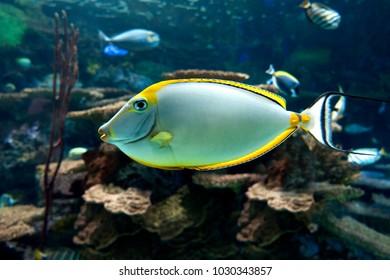 Naso lituratus - barcheek unicornfish - sea and ocean tropical fish