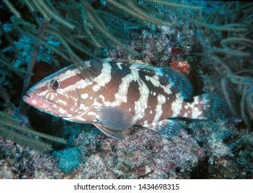 Nassau Grouper Bahamas Atlantic Ocean