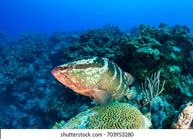 A nassau grouper enjoys his habitat on the reef in the tropical waters of Little Cayman. These fish provide an invaluable part of the ecosystem and keep populations of other species under control