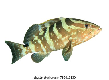 Nassau Grouper fish isolated on white background