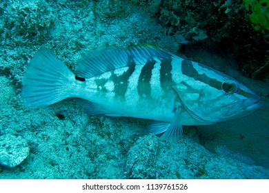 Nassau grouper found scuba diving in Nassau Bahamas