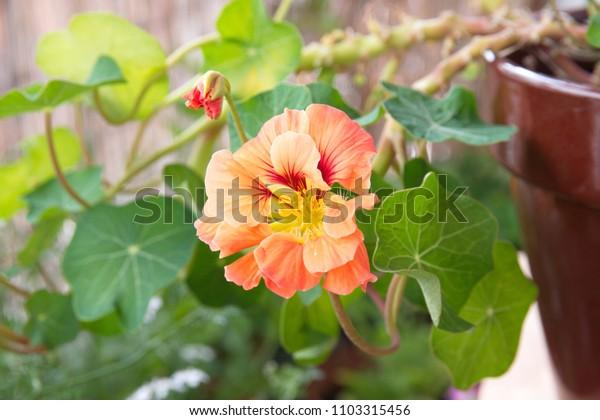 Nasturtium floridanum, Nasturtium officinale plant with orange flower