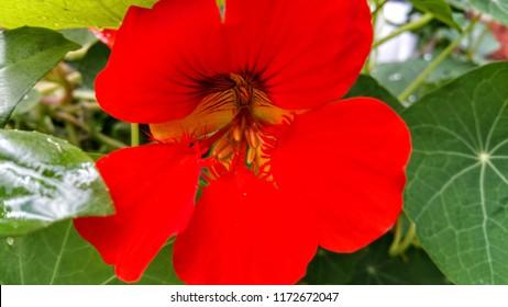 Nasturtium Flower blossom