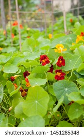 Nasturtium flowering plants in the vegetable and fruit garden growing together with polinating plants. Keeping balance in nature. Permaculture food forest design.