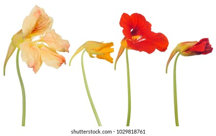 nasturtium flowers isolated on white background