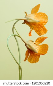 nasturtium flowers on a gentle yellow background. Studio photography.