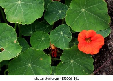 Nasturtium flowers. Tropaeolum majus (garden nasturtium, Indian cress, or monks cress) is a species of flowering plant in the family Tropaeolaceae. Flower and foliage.