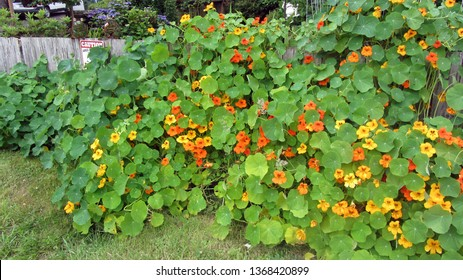 Nasturtium large showy scene of flowers against a rustic fence