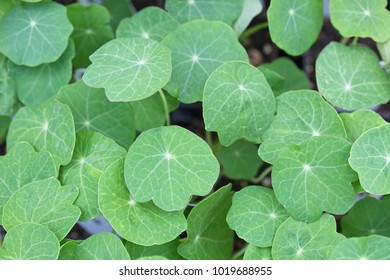 nasturtium leaves green background