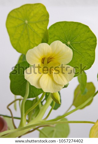 Nasturtium officiale plant big yellow flower stock photo edit now nasturtium officiale plant with big yellow flower on grey background mightylinksfo