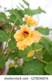 Nasturtium Yellow Images Stock Photos Vectors Shutterstock