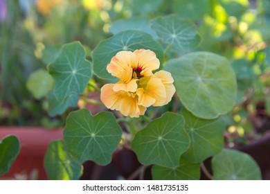 Nasturtium plant with yellow flowers, Nasturtium floridanum, Nasturtium officinale