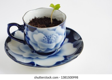 Nasturtium Seedling, Young Plant In Cup And Saucer With Blue Floral Design