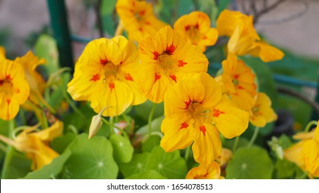 Nasturtium or Tropaeolum plant in garden, bright yellow flower