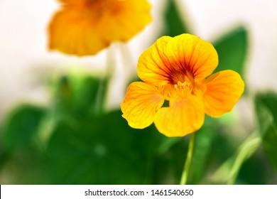 Nasturtium. Yellow nasturtium flower in the garden.