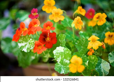 Nasturtiums, Alaska variety with variegated leaves and multiple colors, growing in pot