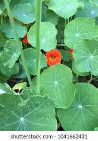 Nasturtiums in garden