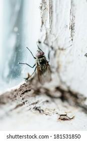 Nasty Housefly in a Dirty Window Frame Corner