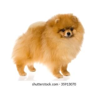 Nat Champion Pomeranian on white background