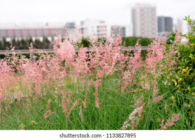 Natal grass, natal redtop, ruby grass (Melinis repens) flowers blooming in urban park