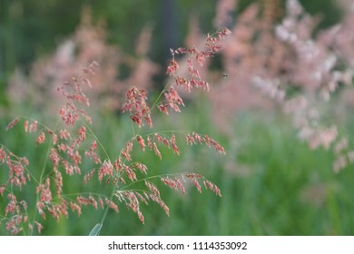 Natal grass, rose Natal grass or Natal red top.