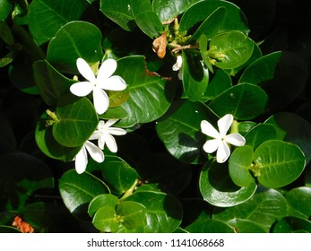 Natal plum or carissa macrocarpa or grandiflora, white flowers and green foliage, at a park in Glyfada, Greece