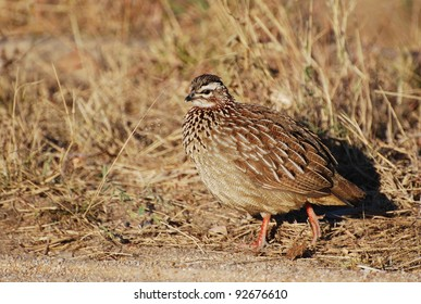 Natal Spur fowl in South Africa