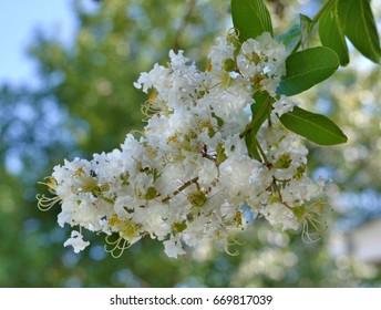Natchez Crape Myrtle blooms
