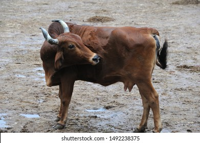 Nathdwara; Rajasthan; India - Asia; : Aug. 2019 : Indian (Desi) cows is the only species of holy cow on the planet which has a hump along its backbone Hindu belief to worship