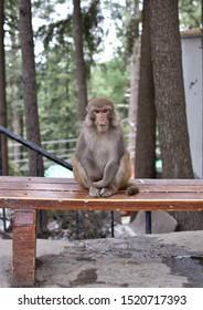 Nathiagali, Pakistan - April 10th 2019: Monkeys of Nathiagali in the wild