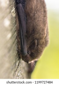 Nathusius' pipistrelle (Pipistrellus nathusii) resting on tree. This is a small migratory bat in the pipstrelle genus. Large flocks travel from northern to southern Europe every spring and autumn.