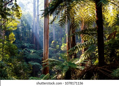 Natife Australian rainforest - eucalyptus trees and ferns