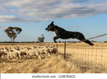 Natimuk, Victoria, Australia - Circa 2016. Frank the kelpie flying high over the fence to round up a mob of White Suffolk's to shift to a fresh paddock.