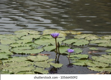 national flower  of Bangladesh - water lily