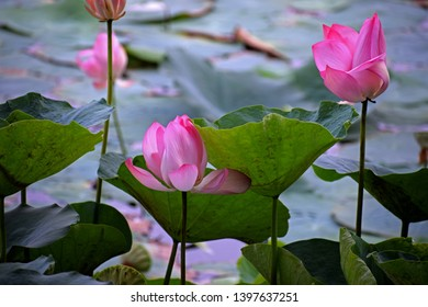 National Flower For India Images Stock Photos Vectors Shutterstock