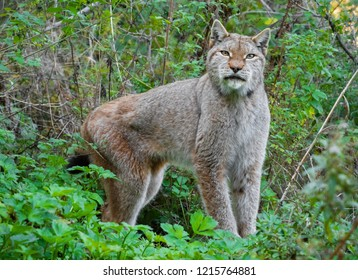 National Park of Abruzzo, Lazio and Molise (Italy) - The autumn in the italian mountain natural reserve, with wild animals, little old towns, the Barrea Lake. Here: the lynx