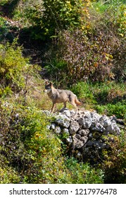 National Park of Abruzzo, Lazio and Molise (Italy) - The autumn in the italian mountain natural reserve, with wild animals, little old towns, the Barrea Lake. Here: the wolf