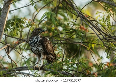 National park Yala Sri Lanka, the changeable hawk-eagle (Nisaetus cirrhatus)
